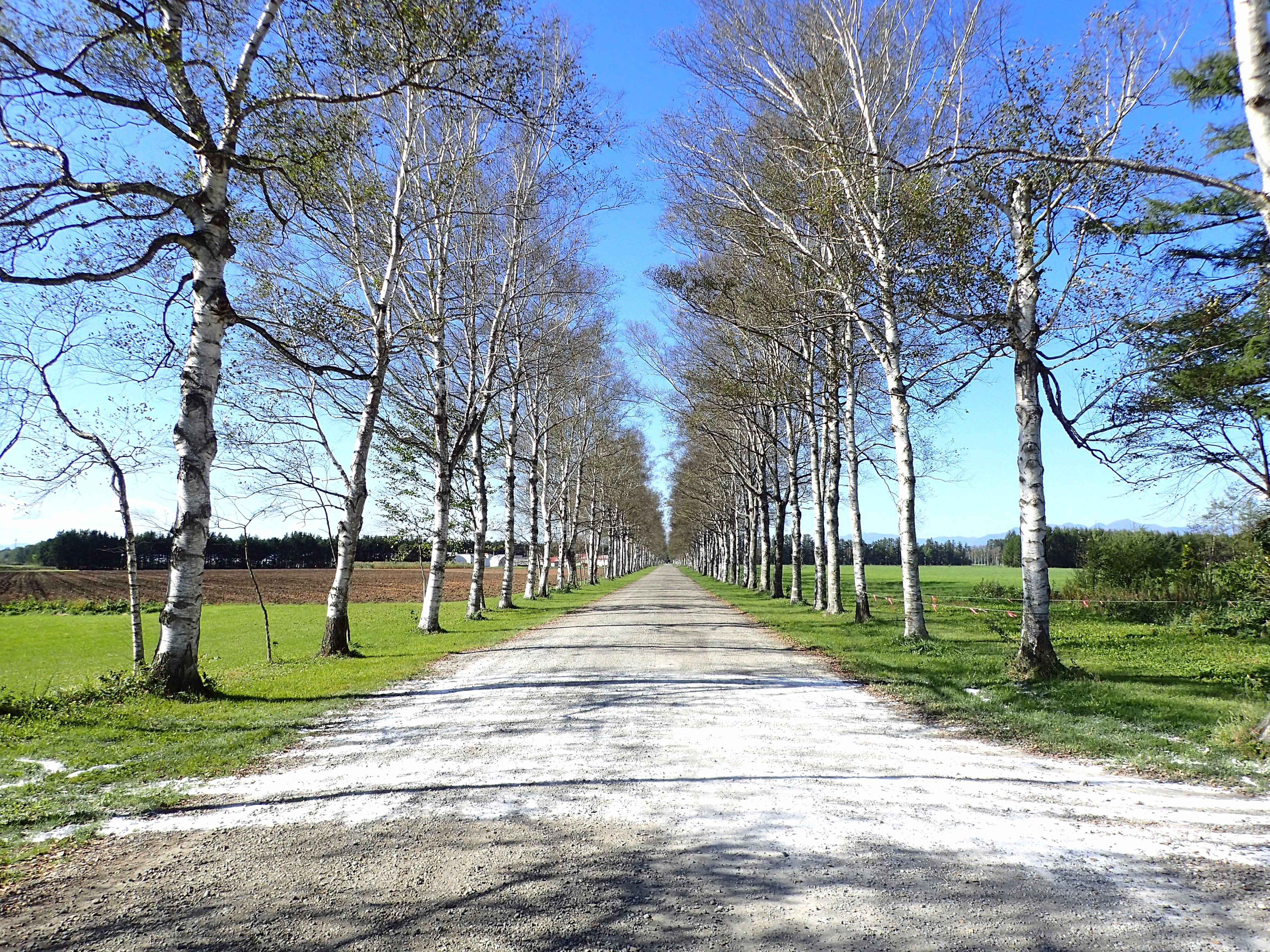 十勝牧場の白樺並木